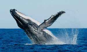 whales-and-dolphins-watching-in-Sri-Lanka-5